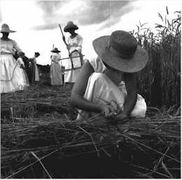 le blé coupé